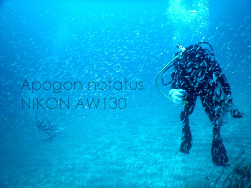 クロホシイシモチの群れ,伊豆海洋公園,NIKON AW130