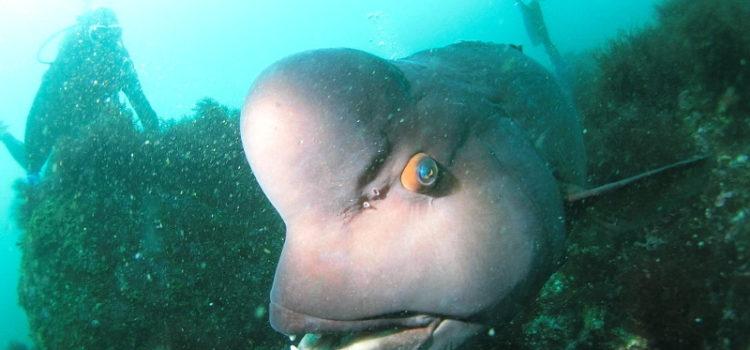 大きすぎるコブダイがまるでペットな伊豆海洋公園!