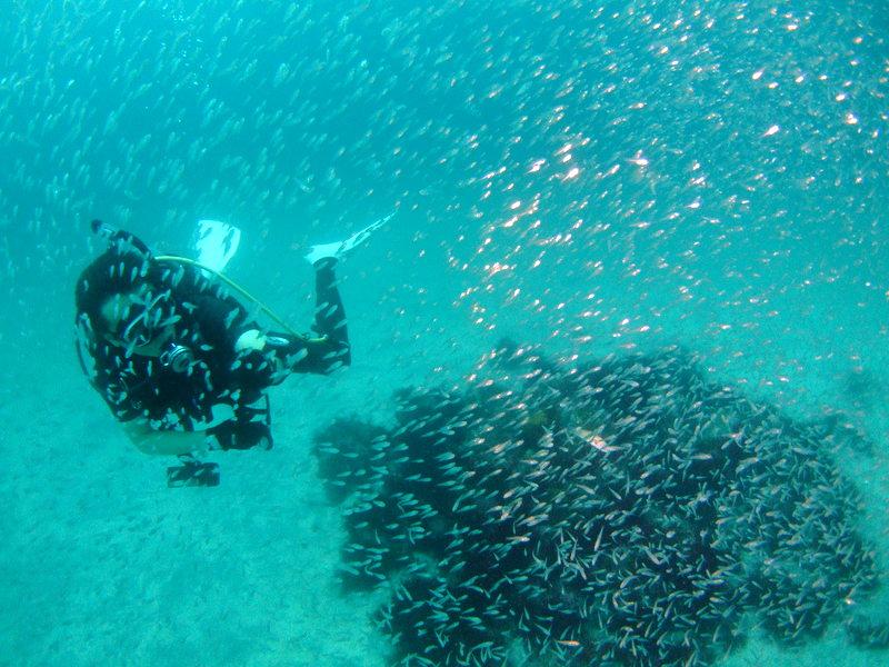 イシモチ幼魚の群れ 伊豆海洋公園