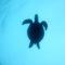 ウミガメは 『追わない、待つの』 伊豆海洋公園