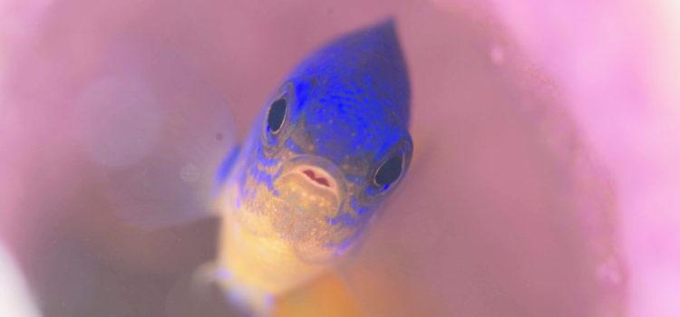 生態観察!卵を守るセダカスズメダイ@伊豆海洋公園