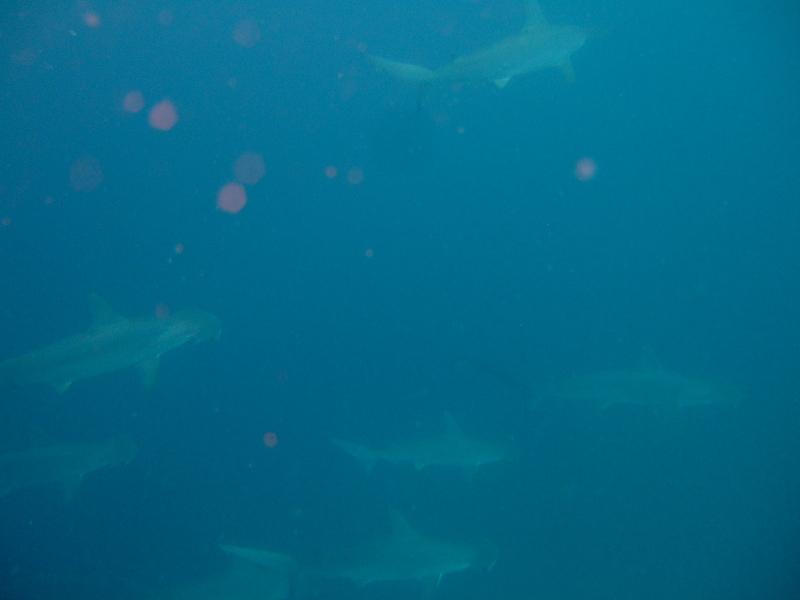 伊豆海洋公園,ハンマーヘッドシャークの群れ!,画像提供リーフレイダーズ