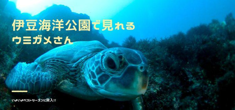 伊豆海洋公園でウミガメ