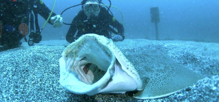 伊豆海洋公園のカスザメ