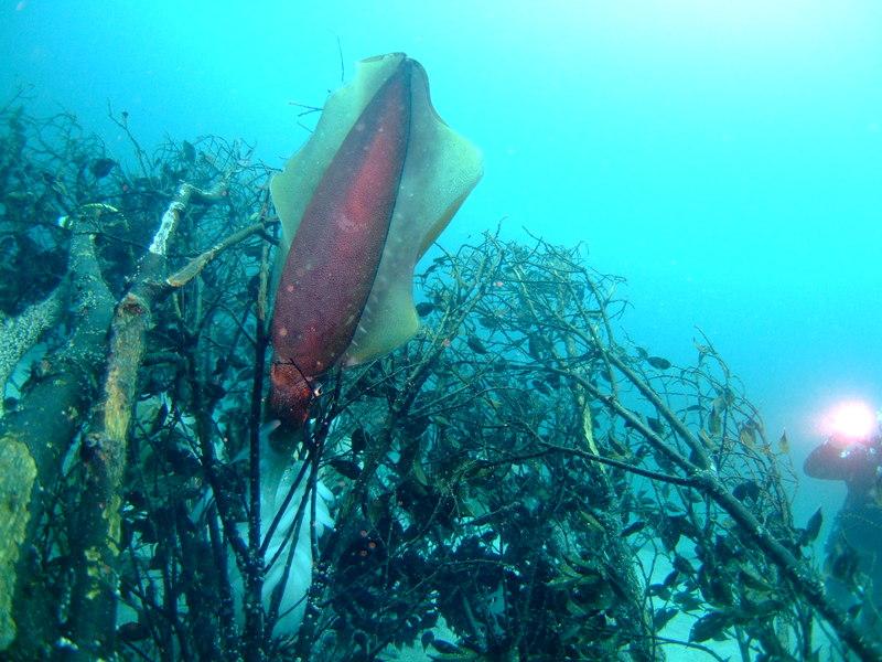 アオリイカの産卵 伊豆海洋公園
