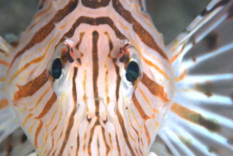 伊豆海洋公園 ミノカサゴ
