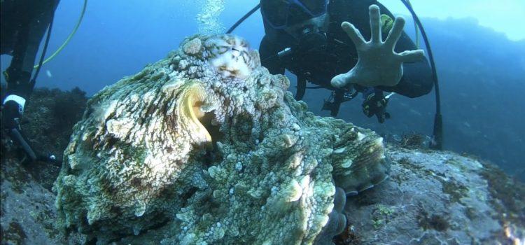 うねりの残る海の中、巨大マダコに遭遇!人の頭くらいの大きさで大迫力でした。伊豆海洋公園!