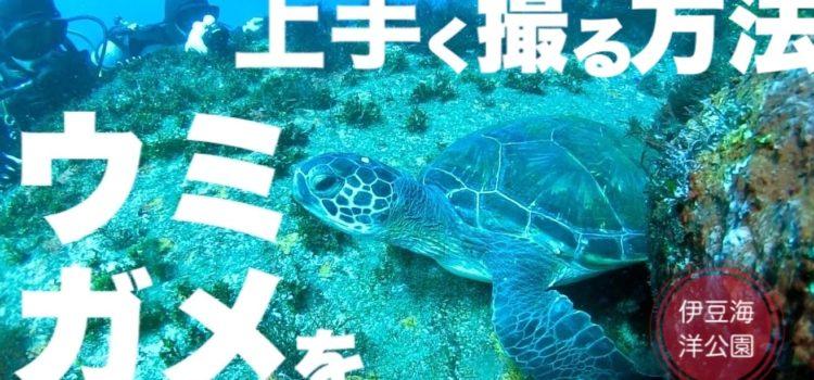 ウミガメを上手く撮影する方法!今日も伊豆海洋公園でたくさん見れたよー!