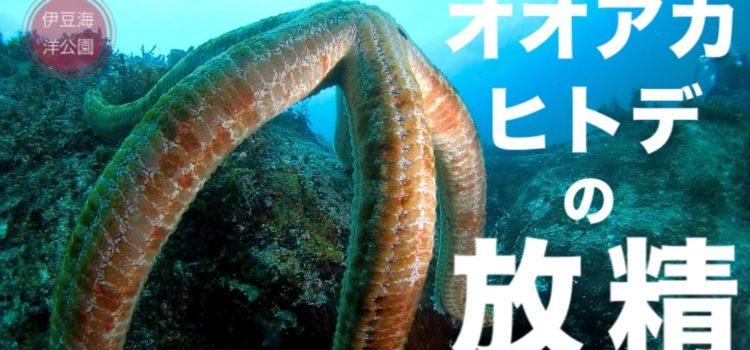 大迫力!日本最大級のヒトデ。オオアカヒトデの放精!伊豆海洋公園