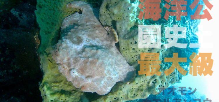 伊豆海洋公園史上最大級の大きさ!オオモンカエルアンコウ登場