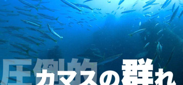 川奈ビーチで圧倒的カマスの群れ!ビックリ!すんごい数です。