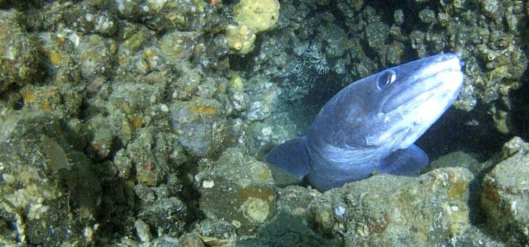 衝撃的にかわいいクロアナゴ!そしてコブダイにライトを喰われるの巻。伊豆海洋公園!