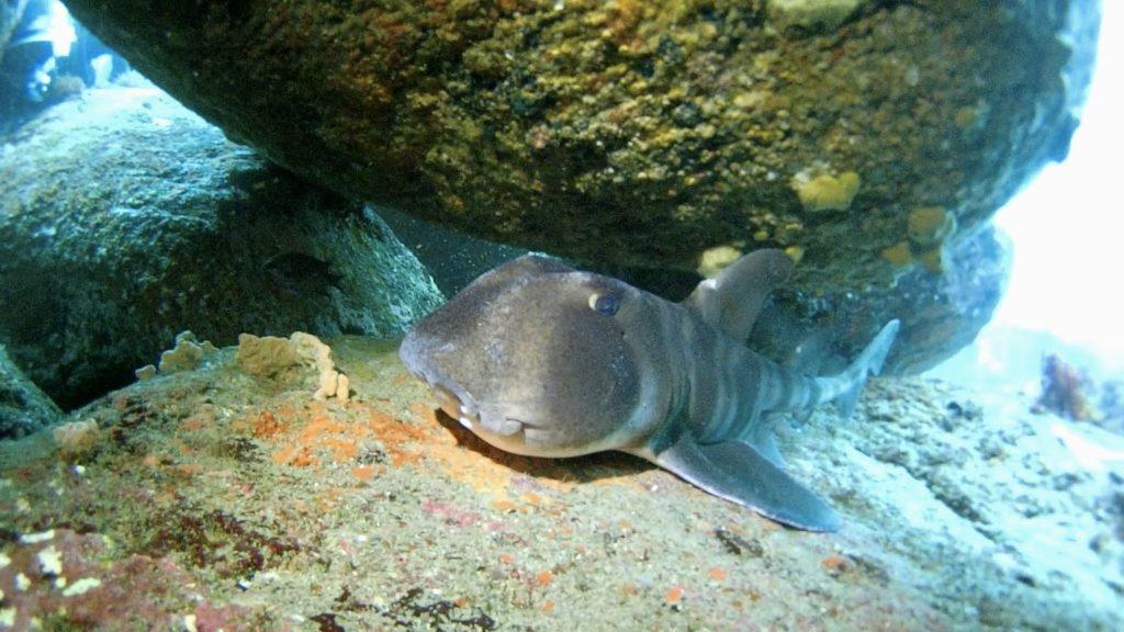 伊豆海洋公園のネコザメ GZEYE