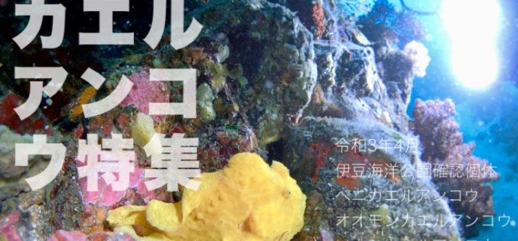 カエルアンコウ特集!探すとめちゃ楽しい!伊豆海洋公園